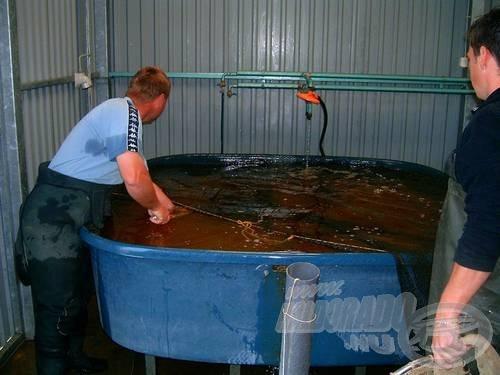 A keltetőházas szaporításnál a megfelelő anyahal kiválasztása fontos, nehogy idő előtt lerakja a hal az ikráját a tároló medencébe