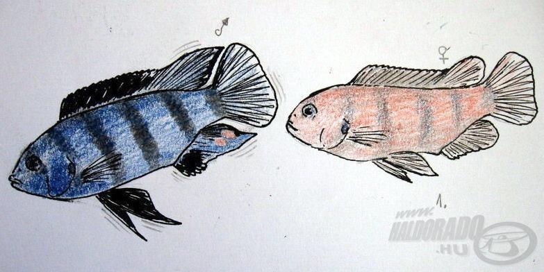 """1. A kék hím remegő úszókkal csábítja nőstényét, """"aki"""" követi felhevült párját"""