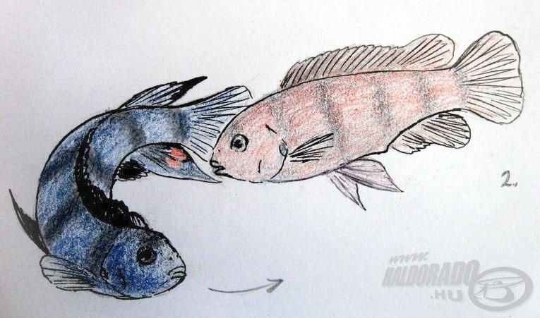 2. Az ívás helyére (pl. egy laposabb sziklához) érve a hím elkezd körbefordulni. A nőstény utána úszik, figyelve a hím farok alatti úszóján lévő sárgás-vöröses foltokat
