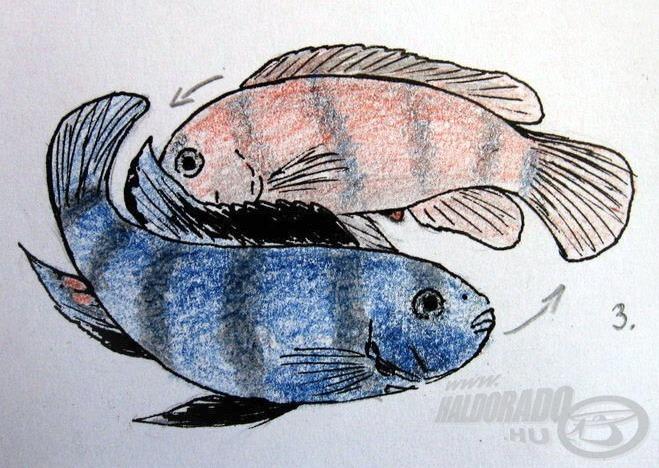 3. A halak lassan egy képzeletbeli kör mentén forognak, a nőstény elkezdi kibocsátani nagyméretű ikráját