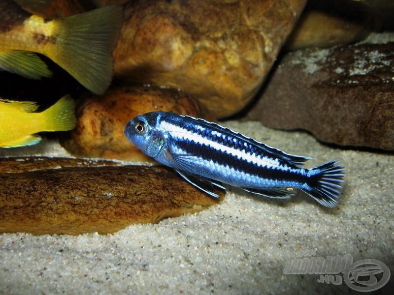 <i>Melanochromis cyaneorhabdos (M. maingano)</i>