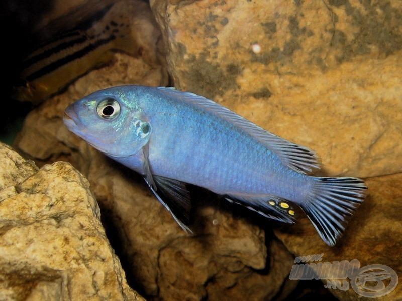 <i>Pseudotropheus socolofi</i> - Malawi pompás sügér