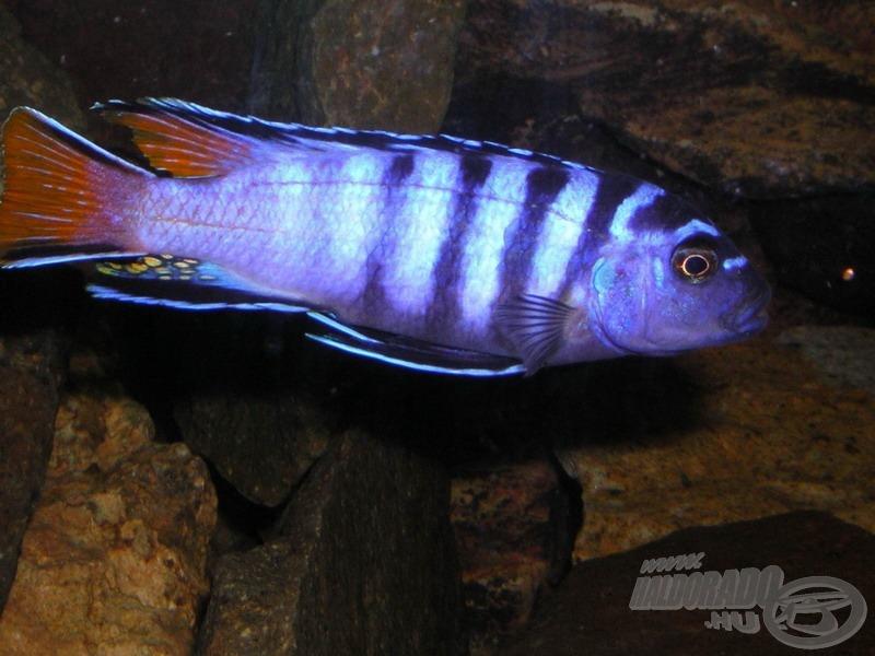 <i>Pseudotropheus elongatus</i> 'Mpanga' - karcsúsügér 'Mpanga' földrajzi változata