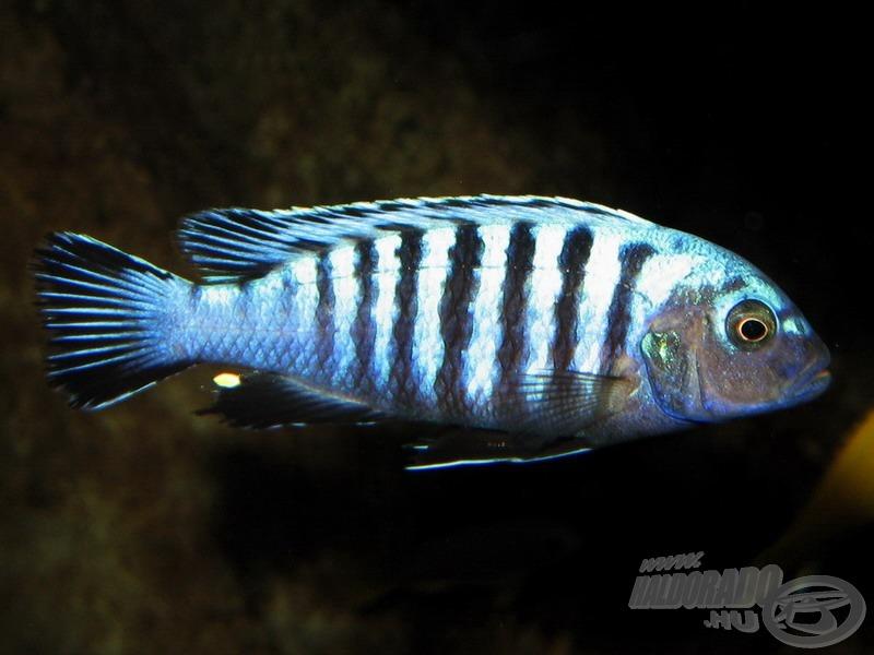 <i>Pseudotropheus sp. 'kingsizei' (= Cynotilapia pulpican)</i> - törpe szájköltő sügér hím