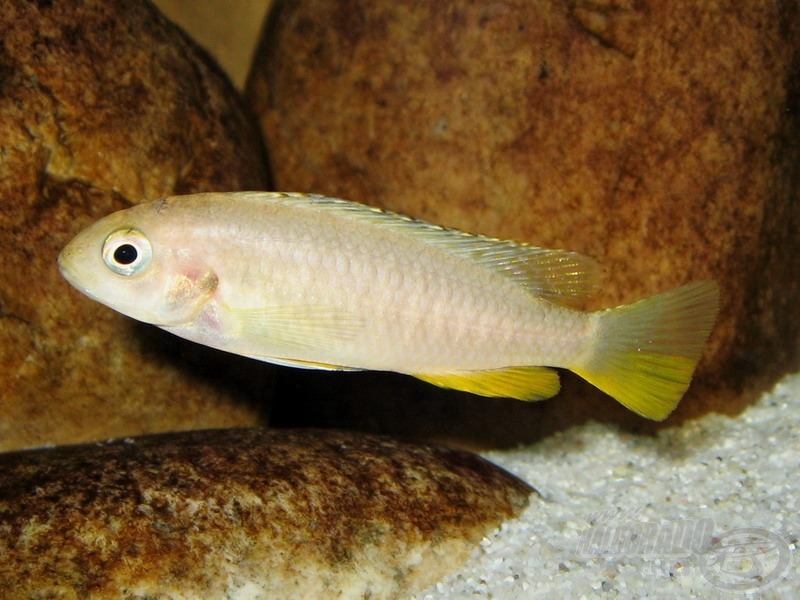 <i>Pseudotropheus tropheops</i> 'Red Fin'