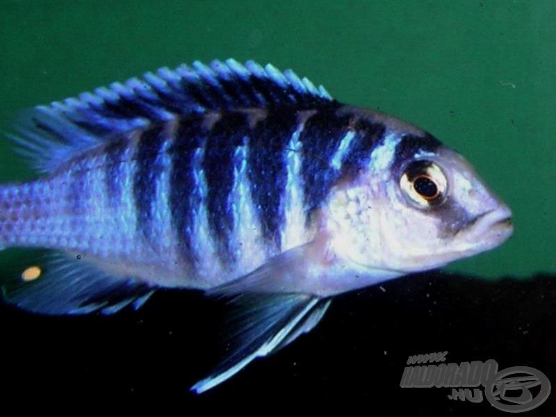 <i>Labidochromis chisumulae</i> sötétkék sávos hím…