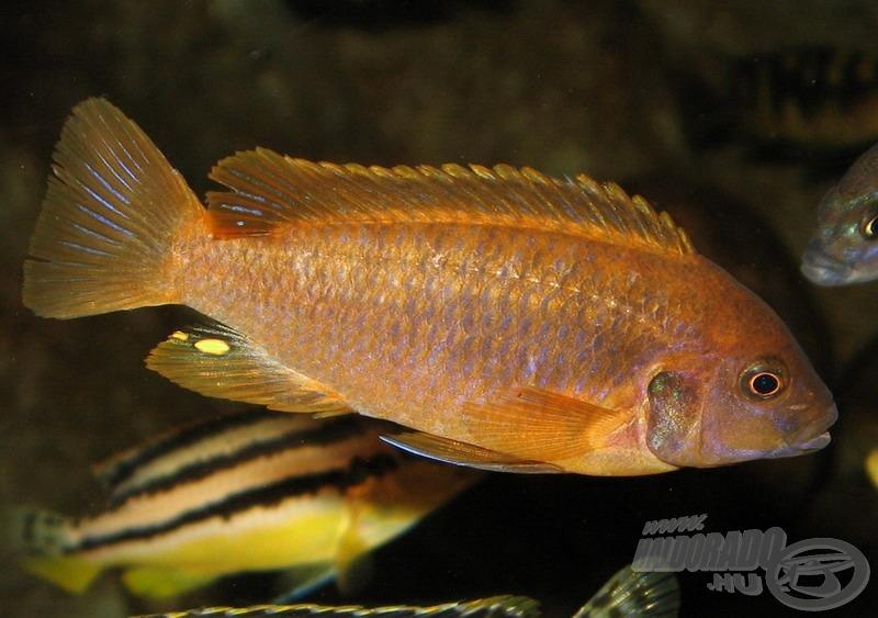 <i>Iodotropheus sprengerae</i> - levendula sügér