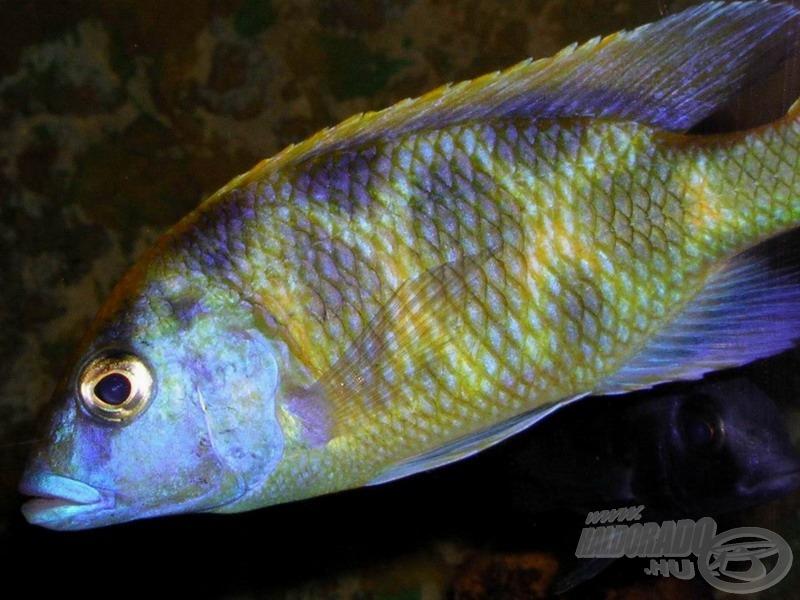 <i>Nimbochromis venustus</i> - pávasügér hím tetszeleg a fényképezőgépem előtt