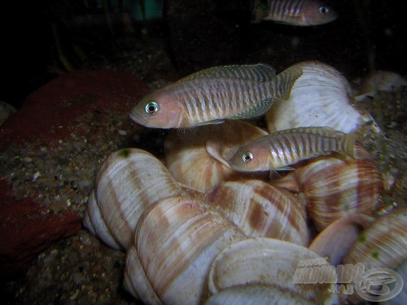 Felül a nagyobb hím, alul a kisebb nőstény sokcsíkú csigasügér (<i>Neolamprologus multifasciatus</i>)