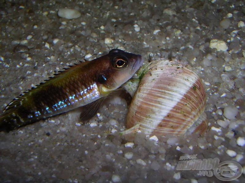 Közeli rokon a sötétebb színű <i>Lamprologus speciosus</i>