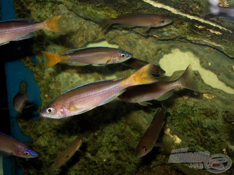 <i>Cyprichromis</i> - lazacsügérek csapata
