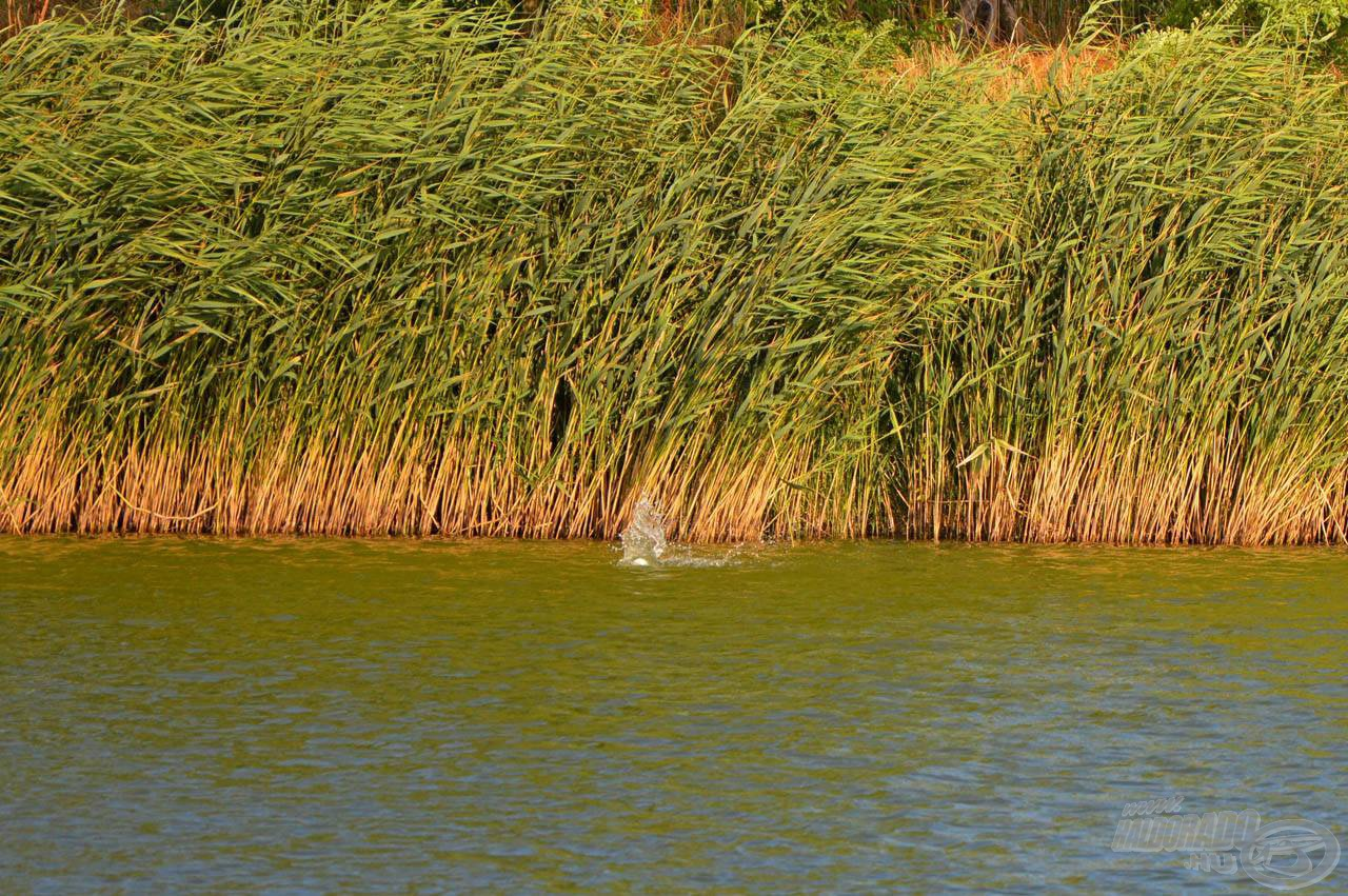 Nem érdemes egészen a nádra dobni, a legjobb, ha a faltól 1-1,5 méterre csobban a Spomb. Erre kényelmesen rá lehet horgászni!