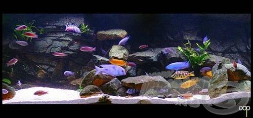 Egy Malawi sügéres akvárium