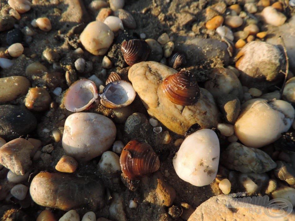 … rengeteg kagyló tarkítja