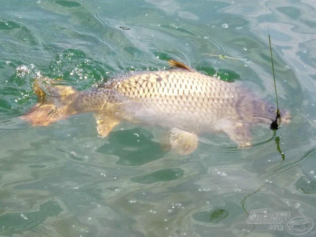 A kristálytiszta vízben nagyon jó erőben voltak a halak