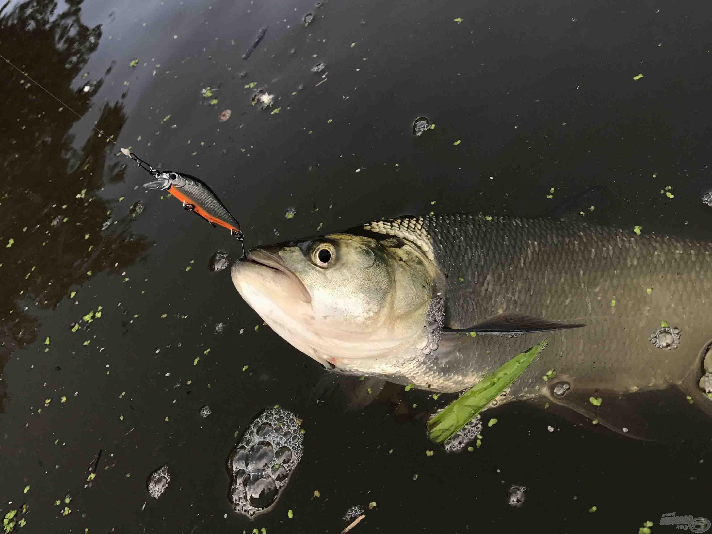 Az egyágú horog is megfogja a halat