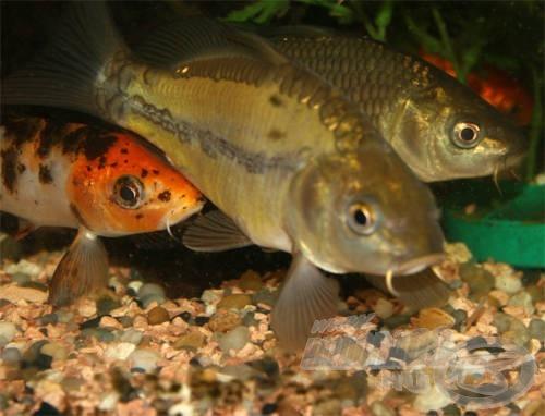 … de akár kedvenc halainknak is létrehozhatunk egy csodás kis világot