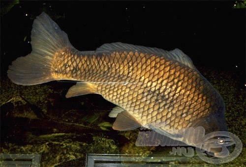 Akár a pontyok táplálkozási szokásait is megfigyelhetjük az akváriumokban