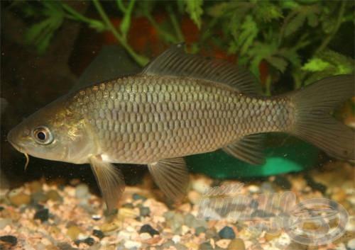 Az akváriumokban gond nélkül lehet tartani akár nyurgapontyokat…