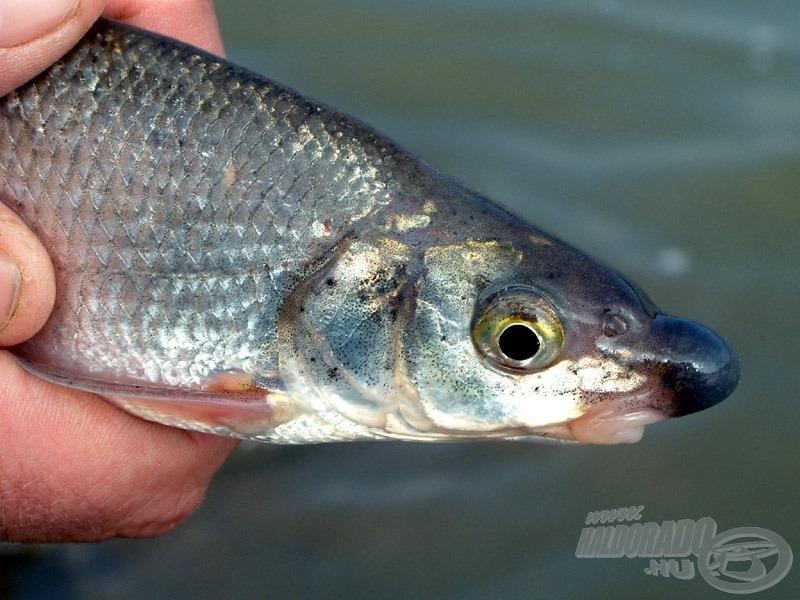 A horgászatom során apróbb szilvaorrú keszegek is megtiszteltek