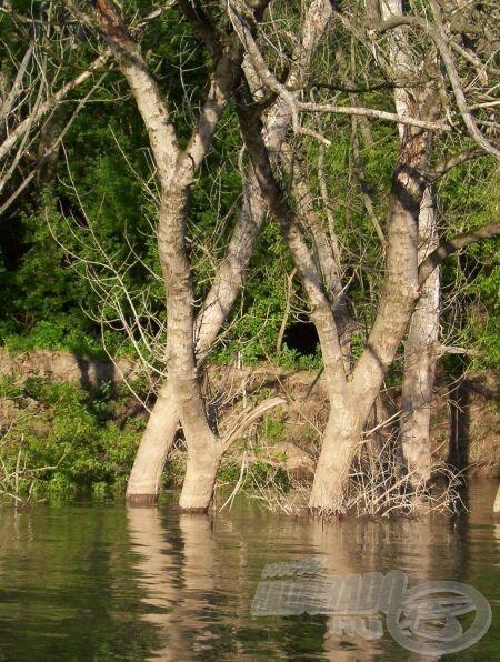 A szakadt part alatt vízben állnak a fák