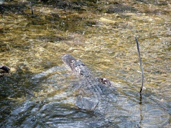 Kevés félelmet mutattak az aligátorok.