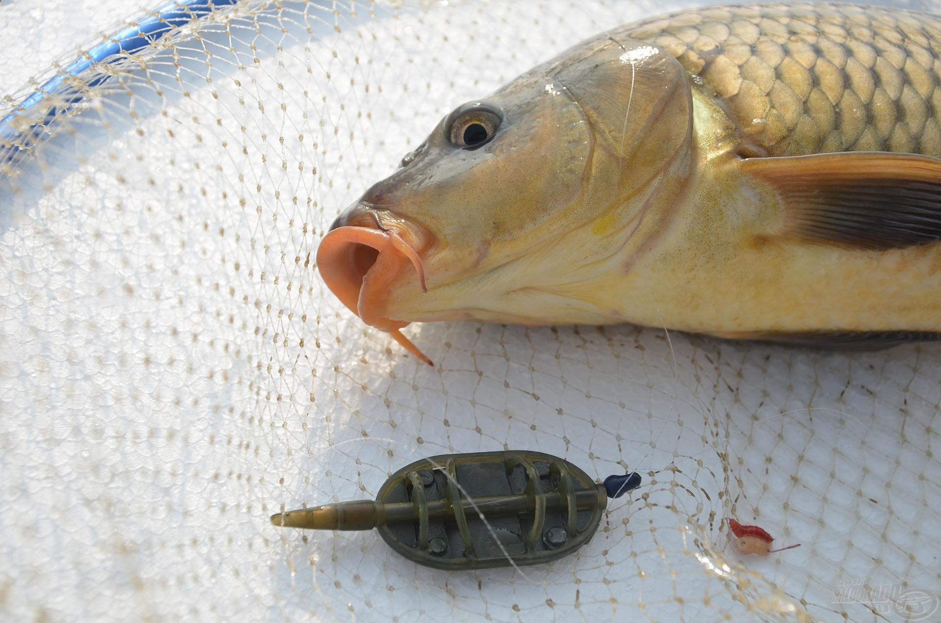 … miközben a method feeder végszerelékkel egyre több pontyot fogtam. Ezek után nem volt kérdés, hogy melyik kell a halaknak!