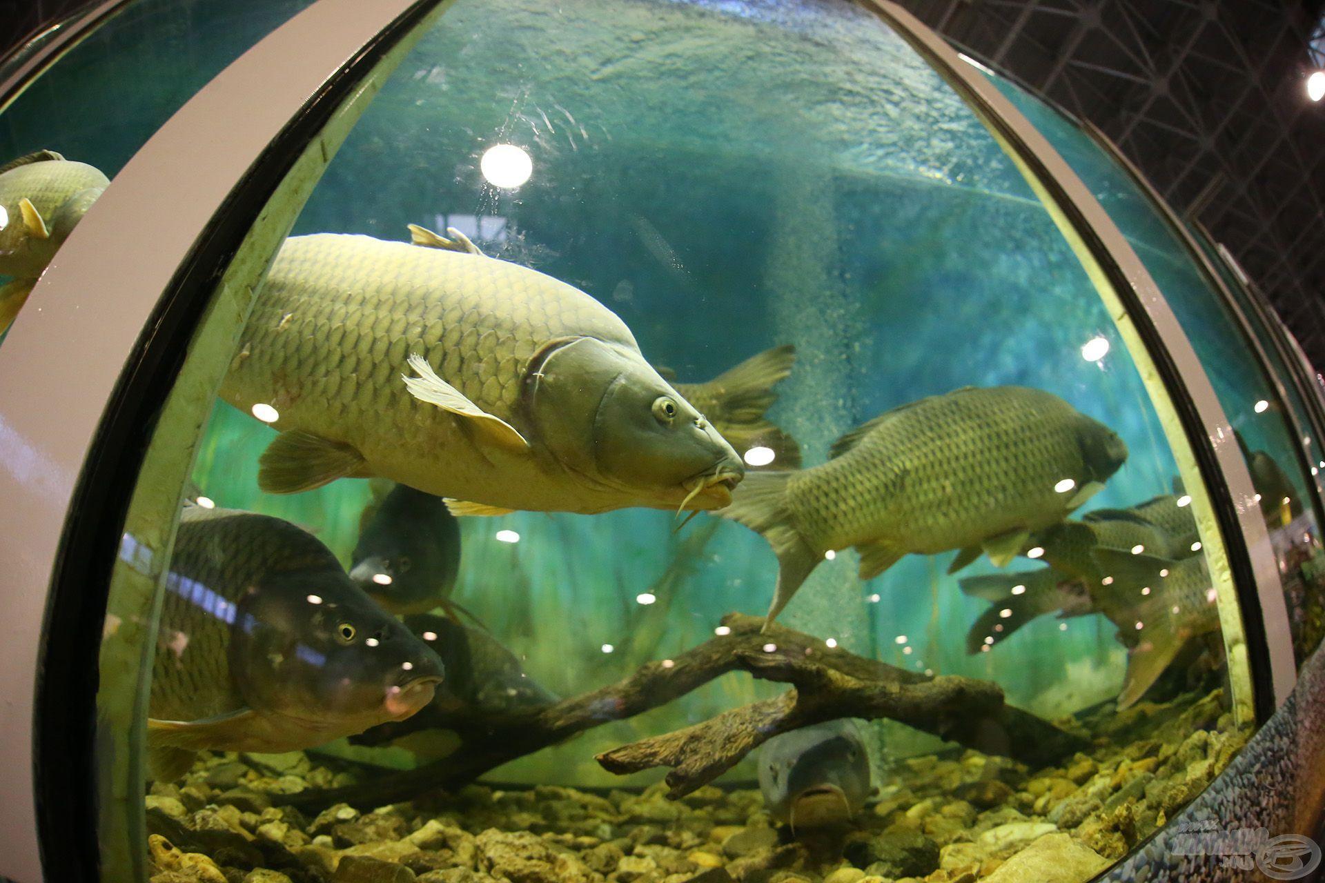 Az akváriumban magyarországi pontyfajták seregszemléje – bemutatkozik a Balatoni Sudár ponty és a Nagyatádi tükrös