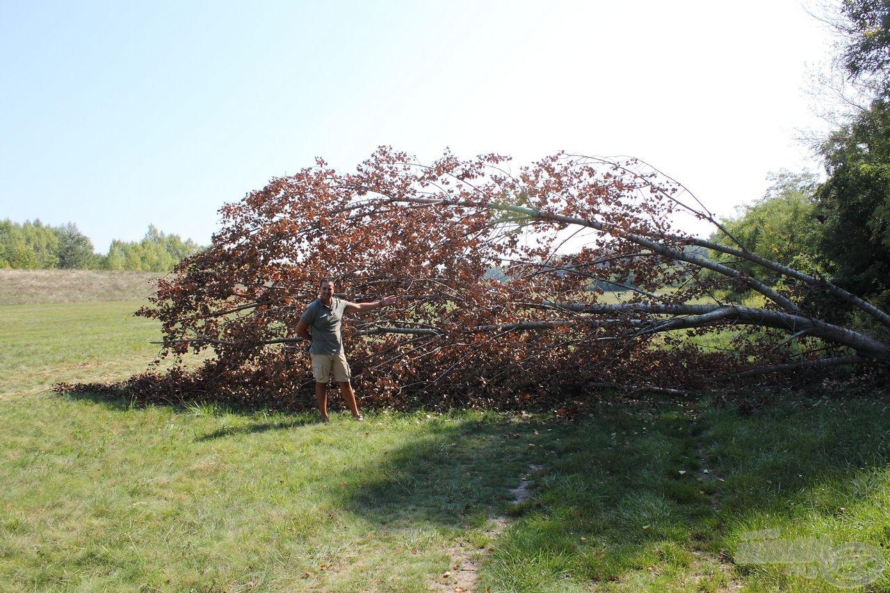 Ez a nagy nyárfa a horgászhelyünk mellett dőlt ki a viharban