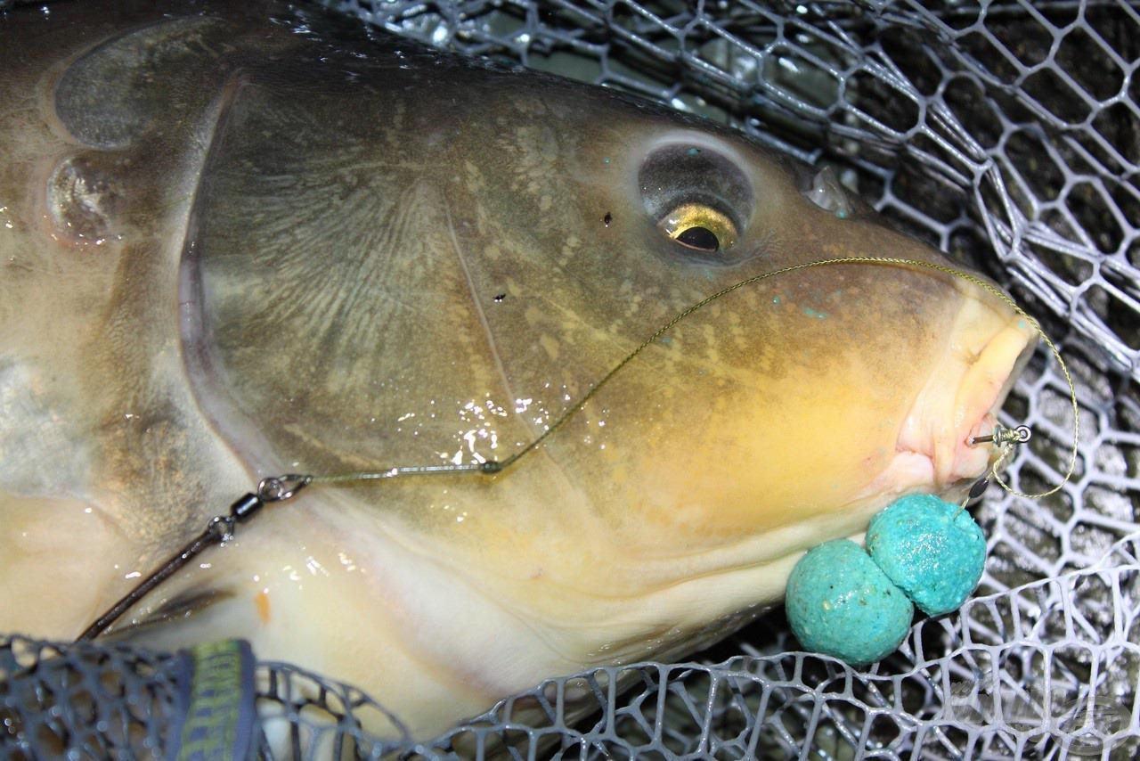 Csali kettő szem bojli volt. A ponty valószínűleg még horgászt sem látott eddig, nemhogy bojlit, mégis megette!
