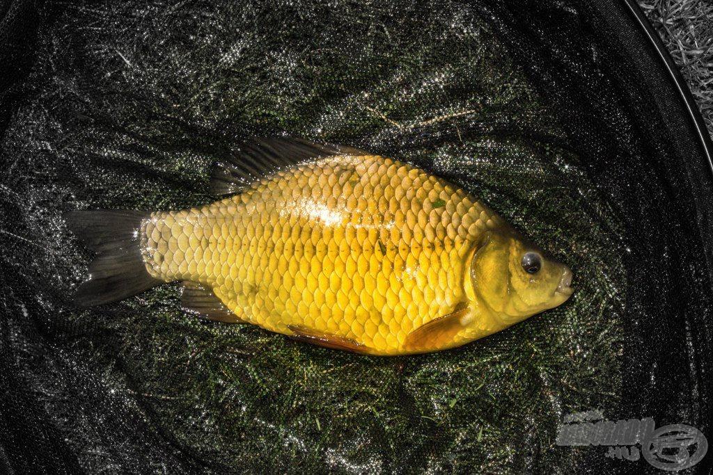 Az áhított aranyhal