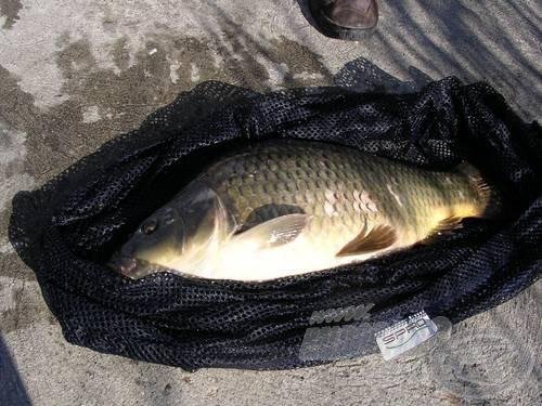 Még az olcsóbb zsákok is kíméletesebben bánnak a ponttyal, mint a hagyományos karikaszákok. A halon látható pikkelyhiány nem a tárolás következménye