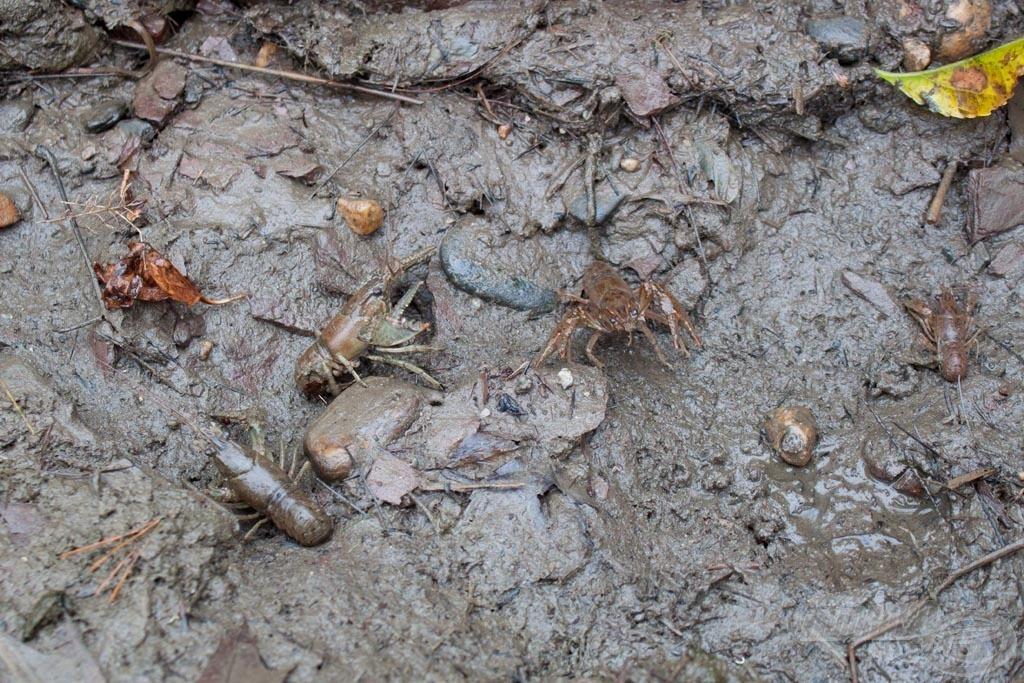 Amikor benéztünk a szárazra került kövek alá, megdöbbenve láttuk, hogy mennyi rák és puhatestű van alattuk. Ezért is vannak itt a pontyok!