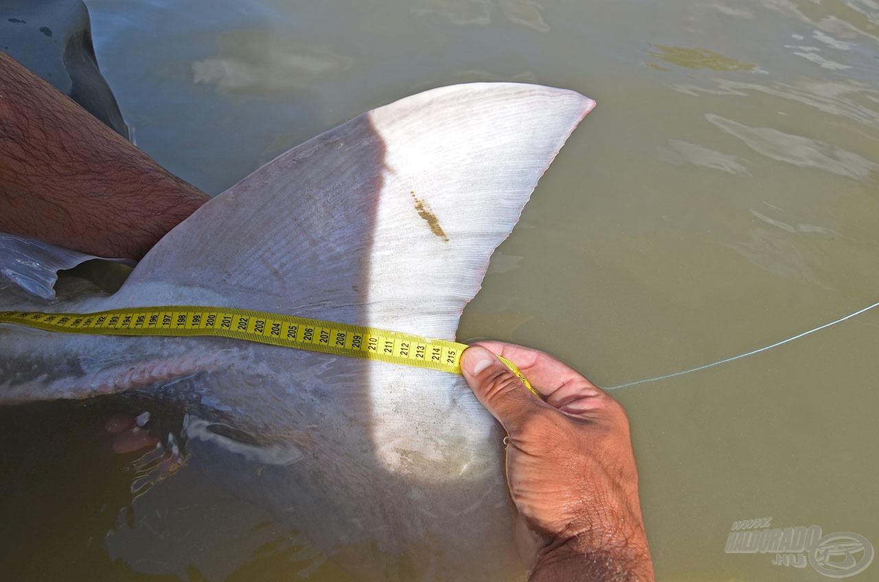 A halak hosszát a farokvilláig mérik